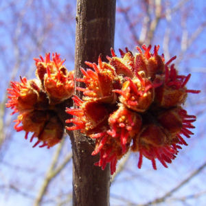 Silber Ahorn Knospe Acer saccharinum 03