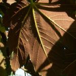 Silber Ahorn Acer saccharinum 01