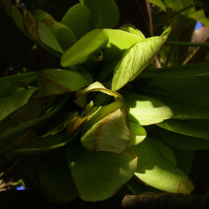 Silber Ahorn Acer saccharinum 02
