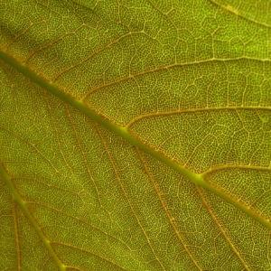 Silber Ahorn Acer saccharinum 03