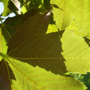 Silber Ahorn Acer saccharinum 04