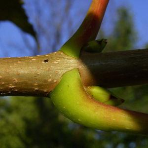 Silber Ahorn Acer saccharinum 07