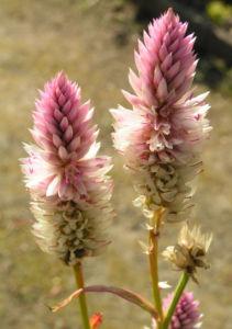 Silber Hahnenkamm Bluetendolde pink Celosia argentea 03