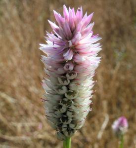 Silber Hahnenkamm Bluetendolde pink Celosia argentea 07