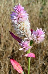 Silber Hahnenkamm Bluetendolde pink Celosia argentea 10