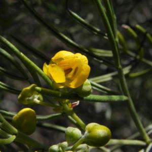 Silber Kassie Strauch Bluete gelb Blatt gruen Senna artemisioides 01