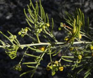 Silber Kassie Strauch Bluete gelb Blatt gruen Senna artemisioides 02