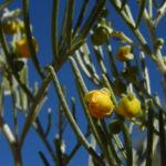 Silber Kassie Strauch Bluete gelb Blatt gruen Senna artemisioides 03