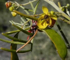 Silber Kassie Strauch Bluete gelb Blatt gruen Senna artemisioides 06