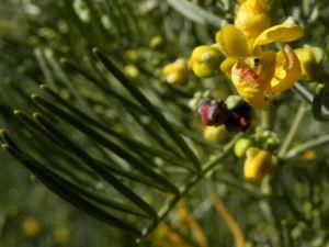 Silber Kassie Strauch Bluete gelb Blatt gruen Senna artemisioides 08