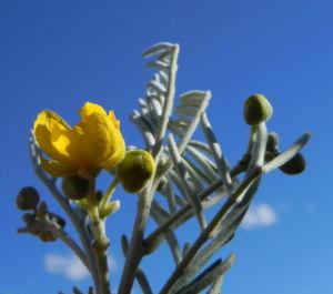 Silber Kassie Strauch Bluete gelb Blatt gruen Senna artemisioides 12