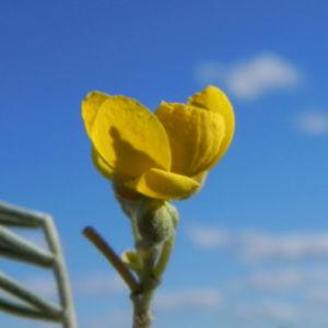Silber Kassie Strauch Bluete gelb Blatt gruen Senna artemisioides 14