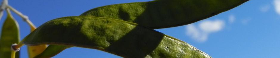 silber-kassie-strauch-bluete-gelb-blatt-silber-schote-gruen-senna-artemisioides