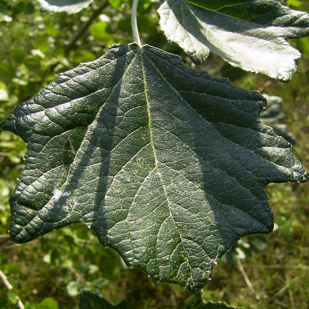 Silber Pappel Blatt Populus alba