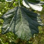 Silber Pappel Blatt Populus alba 02