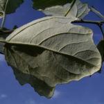 Silber Pappel Blatt Populus alba 03