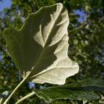 Silber Pappel Blatt Populus alba 04