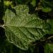 Zurück zum kompletten Bilderset Silber-Pappel Blatt grün Populus alba