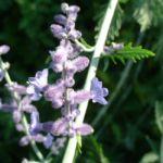 Silber Perowskie Perovskia atriplicifolium 02
