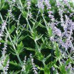 Silber Perowskie Perovskia atriplicifolium 04