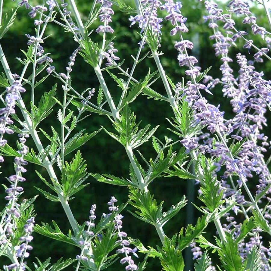 Silber Perowskie Perovskia atriplicifolium