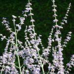 Silber Perowskie Perovskia atriplicifolium 05
