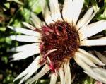 Bild: Silberdistel Blüte weiß Carlina acaulis