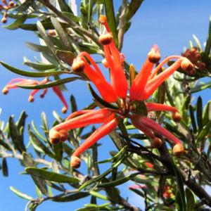 Silbereiche Strauch Bluete rot Grevillea obtusiflora 08