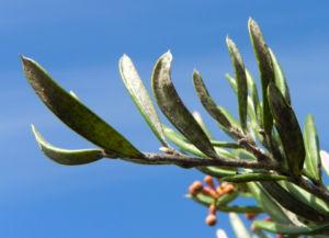 Silbereiche Strauch Bluete rot Grevillea obtusiflora 10