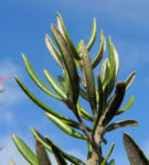 Silbereiche Strauch Bluete rot Grevillea obtusiflora 11