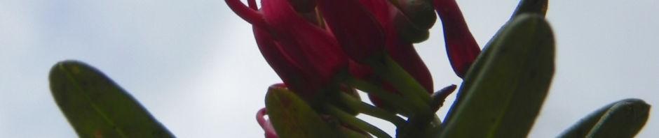 silbereiche-strauch-bluete-rot-grevillea-obtusiflora