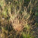 Silbergras Bueschel braeunlich Corynephorus canescens 01