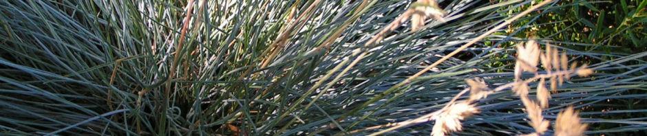 silbergras-corynephorus-canescens