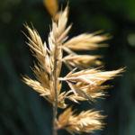 Silbergras Corynephorus canescens 02