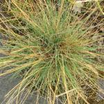 Silbergras Corynephorus canescens 04