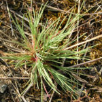 Silbergras Corynephorus canescens 05