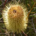Silver Banksia Strauch Bluete gelblich Banksia marginata 07