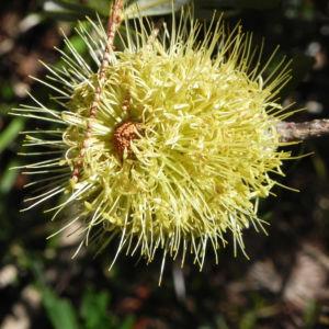 Silver Banksia Strauch Bluete gelblich Banksia marginata 13