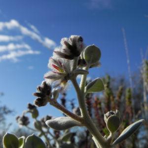 Silvertails Cotton Bush Bluete pink Ptilotus obovatus 13 1