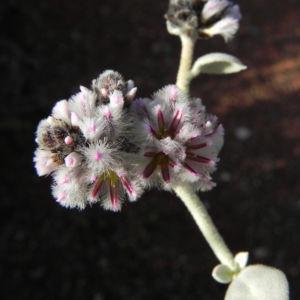 Silvertails Cotton Bush Bluete pink Ptilotus obovatus 16 1