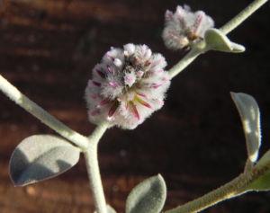 Silvertails Cotton Bush Bluete pink Ptilotus obovatus 18 1