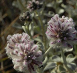 Silvertails Cotton Bush Bluete pink Ptilotus obovatus 221