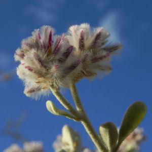 Silvertails Cotton Bush Bluete pink Ptilotus obovatus 24