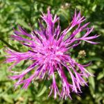 Skabiosen Flockenblume Bluete lila Centaurea scabiosa 01