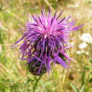 Skabiosen Flockenblume Bluete lila Centaurea scabiosa 05