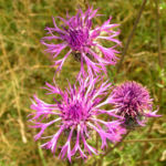 Skabiosen Flockenblume Bluete lila Centaurea scabiosa 12