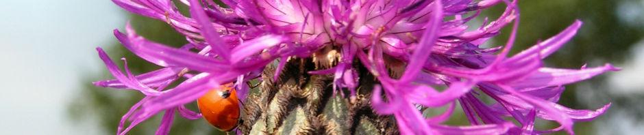 skabiosen-flockenblume-bluete-lila-centaurea-scabiosa