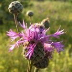 Skabiosen Flockenblume Bluete pink Centaurea scabiosa 04