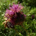 Skabiosen Flockenblume Centaurea scabiosa 05