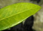 Skimmie Blatt gruen Skimmia japonica 09